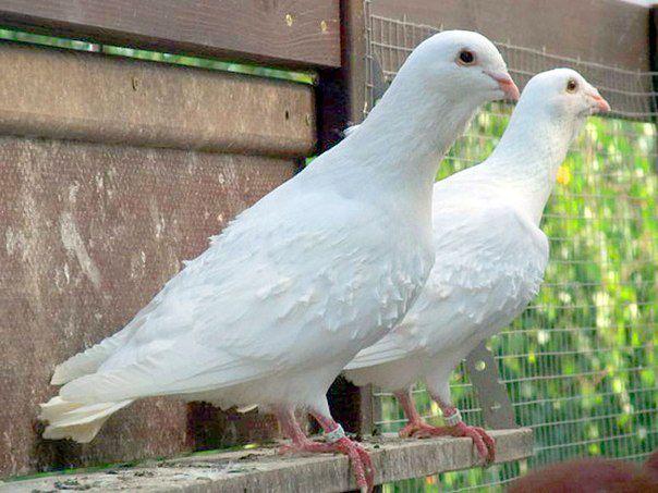 Кудрявый сирийский складчатый голубь