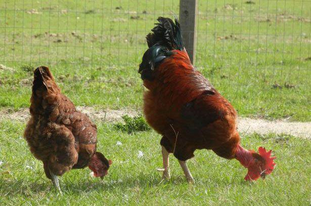 Курица и петух голошейной породы