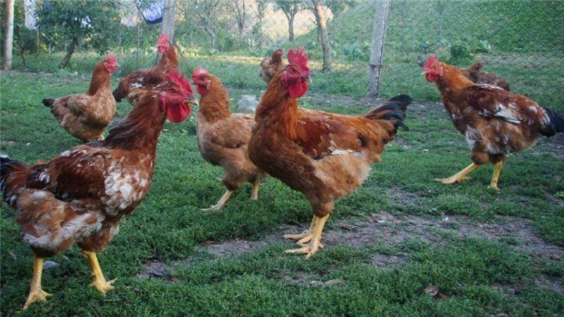 Куры Фокси Чик относятся к категории мясо-яичных кроссов