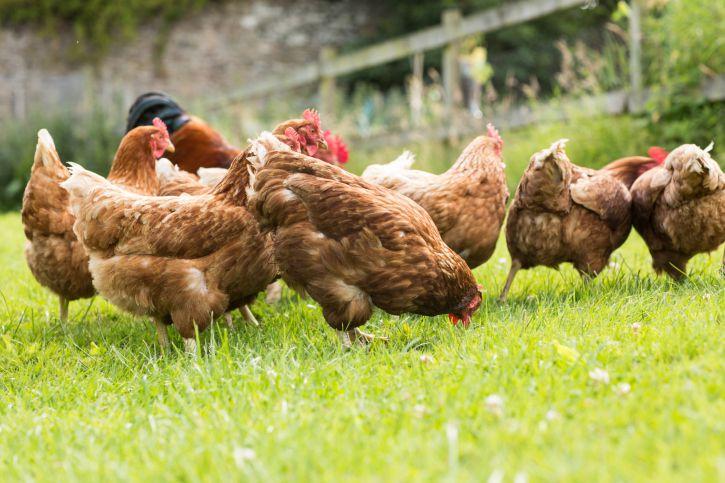 Куры заражаются круглыми и плоскими глистами склевывая их яйца на заемле