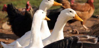 Совместное содержание кур и гусей