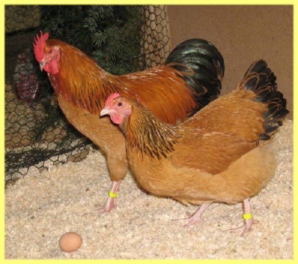Кучинская порода кур