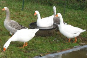 Летнее свободное содержание итальянских и больших серых гусей снижает себестоимость практически до нуля