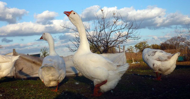 Линдовские гуси редко болеют