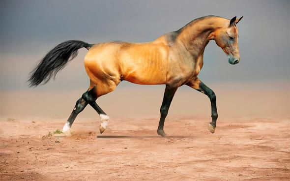 Лошадь Кохейлан-Сиглави