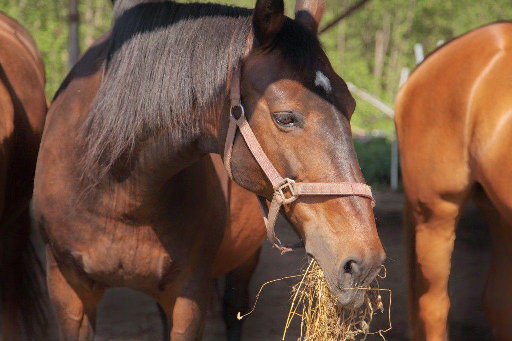 Лошадь должна иметь постоянный доступ к сену