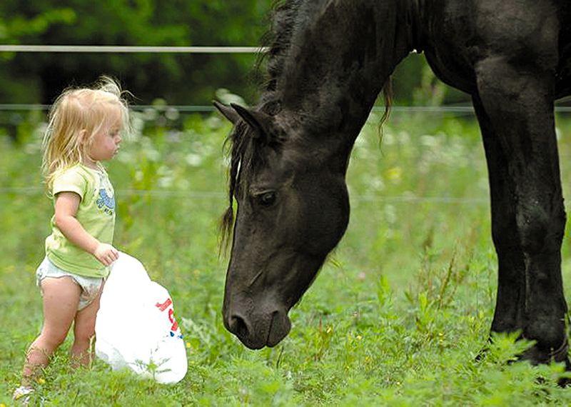 Лошадь фризской породы