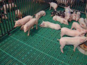 Молодое поголовье свиней чувствует себя комфортно на пластиковых щелевых полах