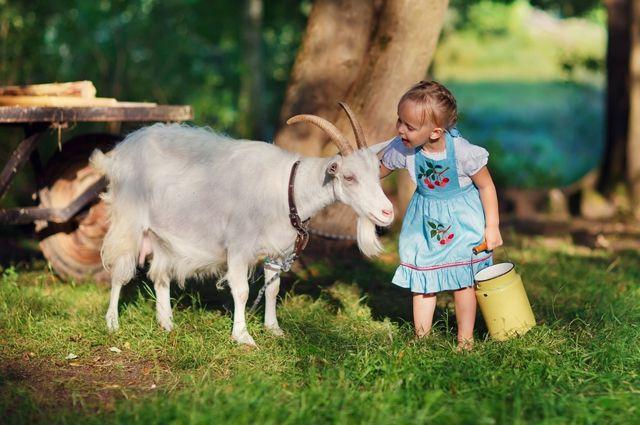 На удой козы влияет множество факторов