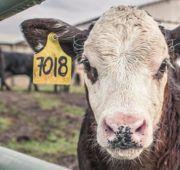 На хозяйство накладывается ограничение по ввозу и вывозу животных и птиц