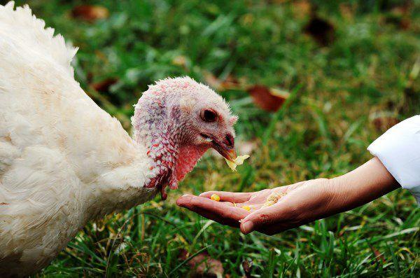 Некачественный корм является одной из причин заболевания птицы