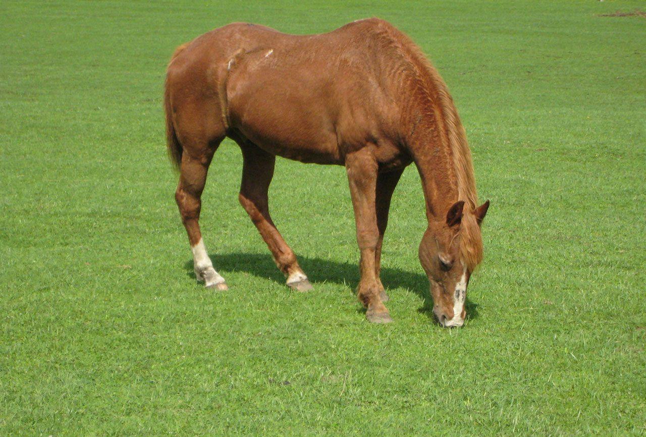 Необходимую в рационе зеленую траву, летом лошадь получает на выпаске