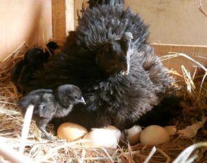 Несушка реализует свой материнский инстинкт, высиживая цыплят