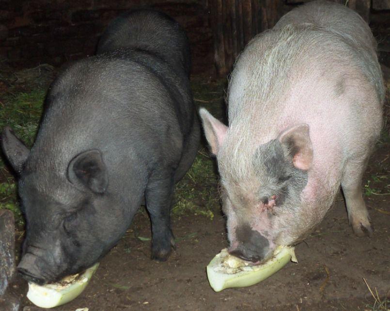Не следует давать свиньям пищевые отходы с кухни