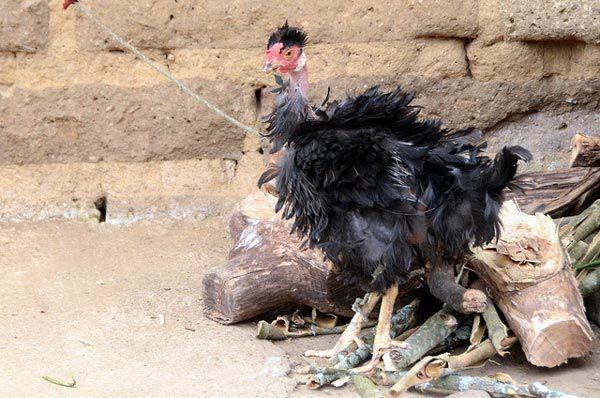 Облинявшая больная курица