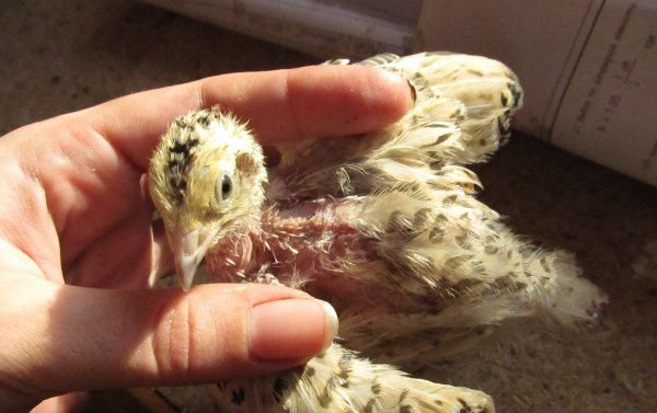 Облысение птицы из-за неправильного содержания или болезни