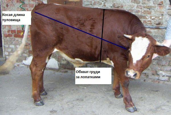 Обмер тела коровы