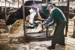 Обрезка копыт у коров