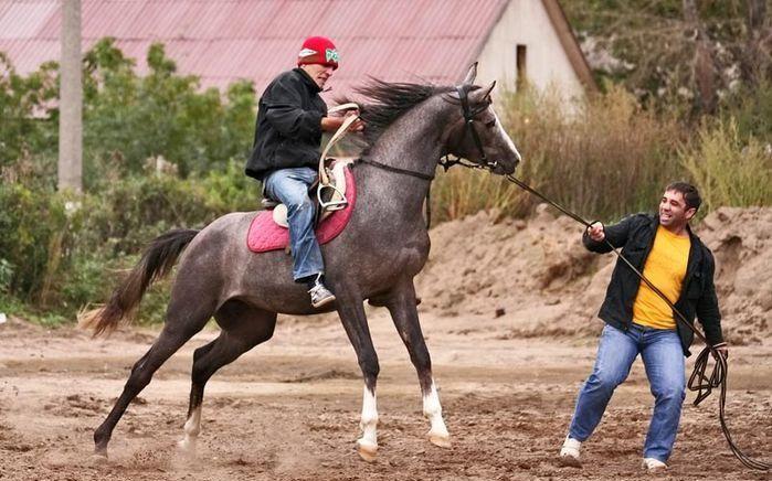 Обучение молодой лошади