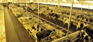 Общий вид коровника с беспривязным содержанием коров
