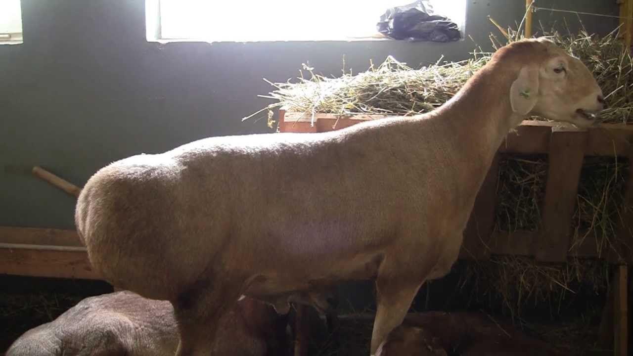 Овцы отличаются большой массой и отсутствием рогов