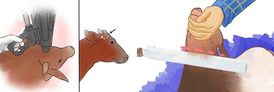 Оглушение коровы
