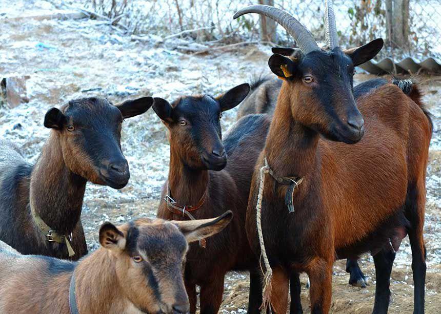 Окрас коз чешской породы колеблется от красновато-рыжего до тёмно-коричневого
