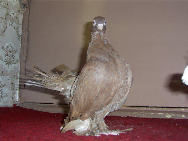 Осенью голубям необходим белок, иначе период линьки начнется позже, а внешний вид птицы может пострадать