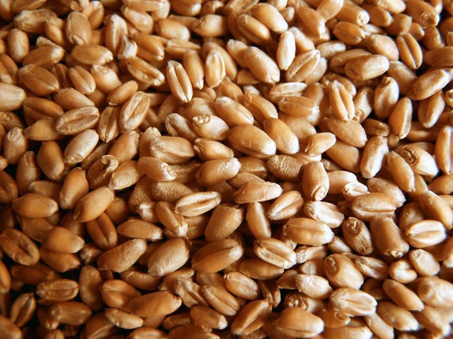 Основой рациона арабских лошадей является пшеница