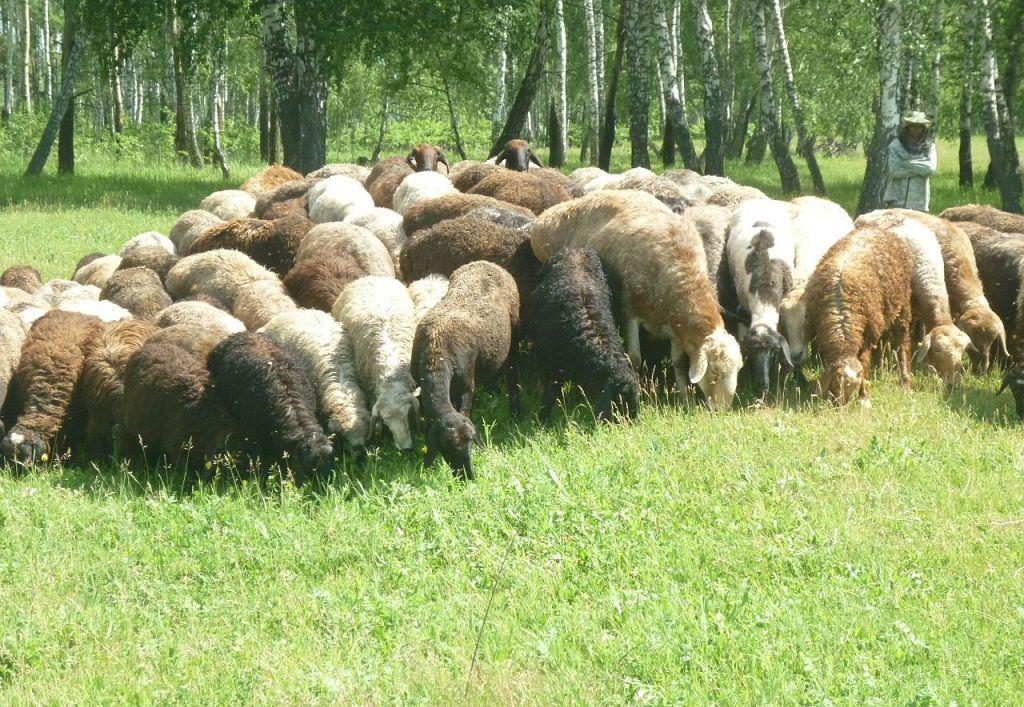 Отара эдильбаевских овец
