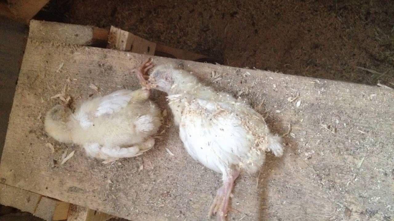 Падеж цыплят обойдет стороной хозяйство, в котором с должной заботой относятся к поголовью
