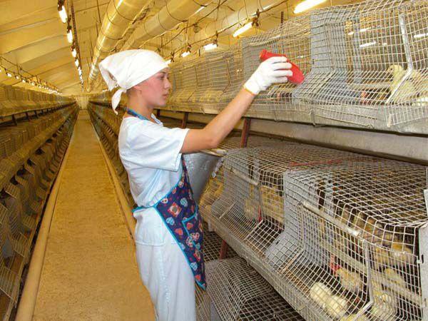 Парамикровирусы могут передаваться через одежду работников птицефабрик