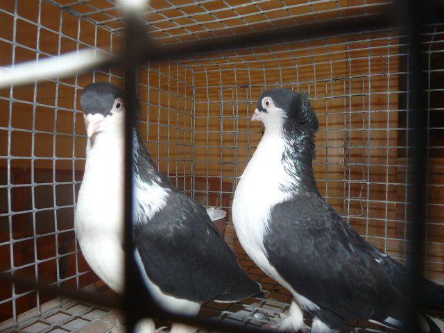 Пара домашних голубей в клетке