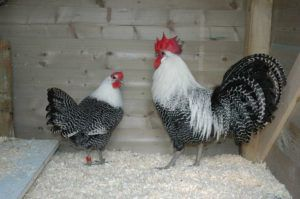 Петух и курица Брекель