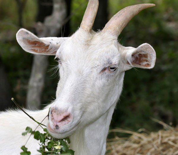 Питание козы во время и после беременности должно быть сбалансированное