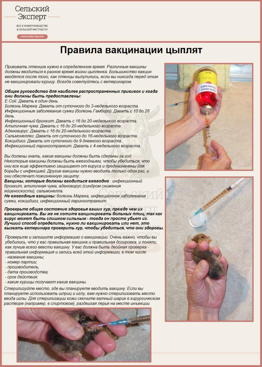 Правила вакцинации цыплят