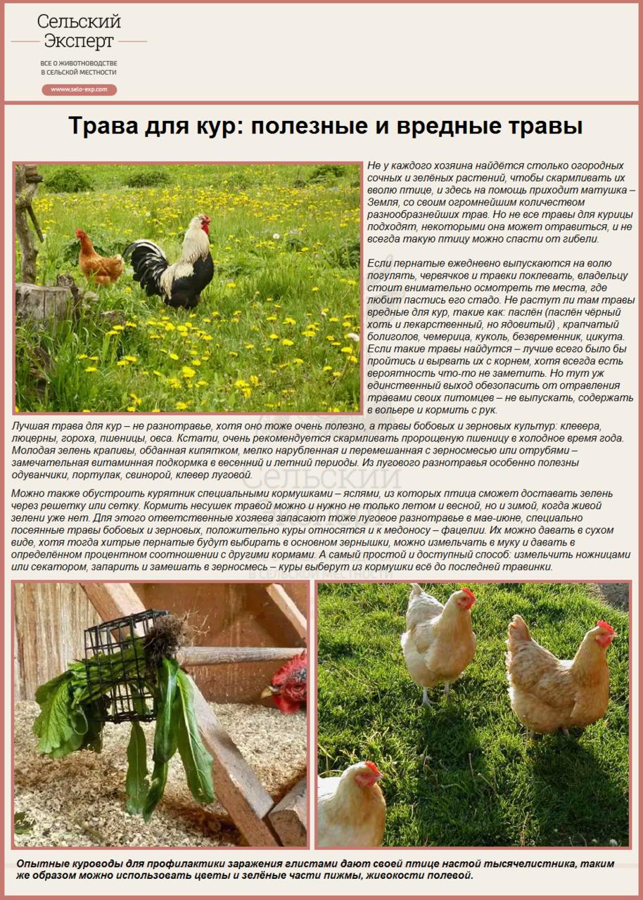 Трава для кур: полезные и вредные травы