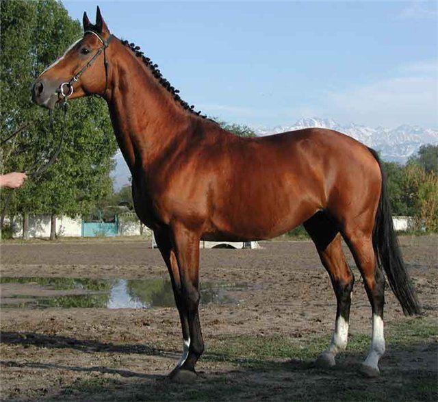 Позднее на основе арабских лошадей вывели английскую верховую