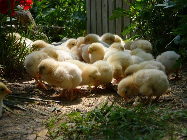 Пол маленьких цыплят трудно определить по внешнему виду