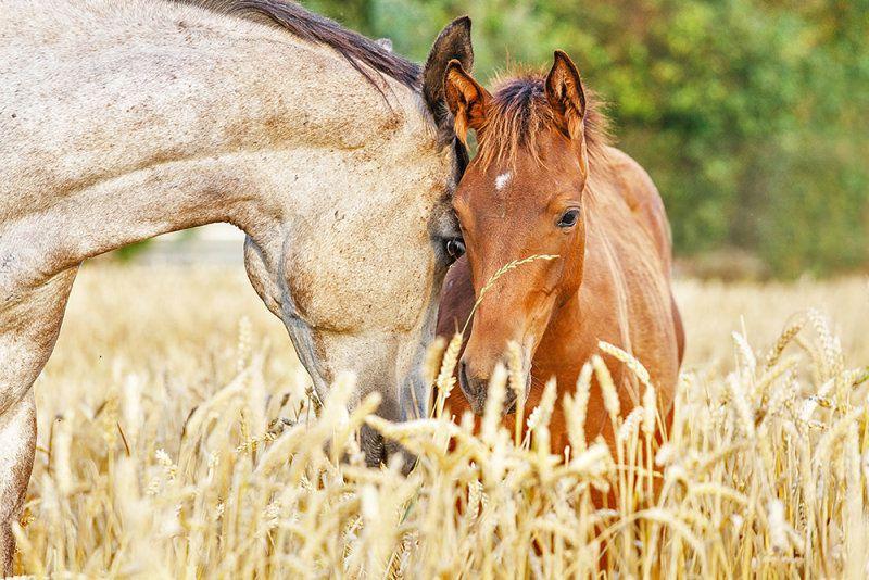 Потребление лошадьми ржи и пшеницы нужно ограничить 4 кг в сутки