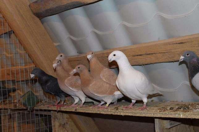 Почтовые (спортивные) голуби
