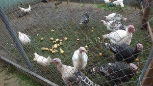 Индюки любят полакомиться яблоками