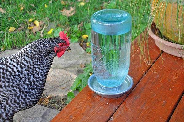 Препарат цыплятам и курам дают ежедневно в одно и тоже время