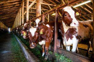 Привязное содержание коров в стойлах