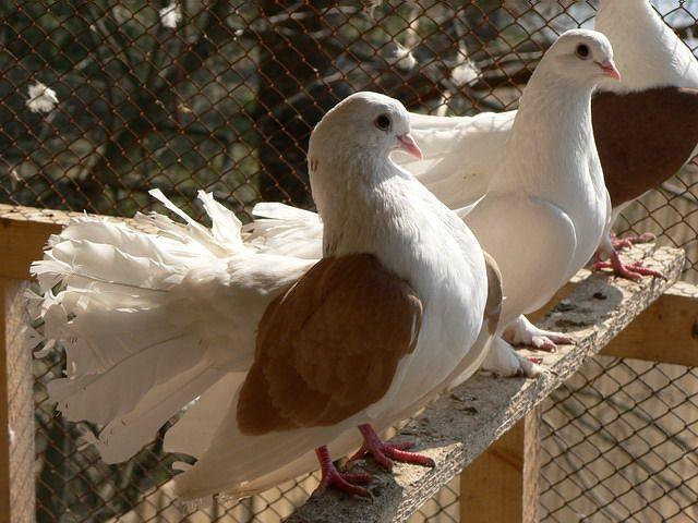 Приобретать голубей лучше парами