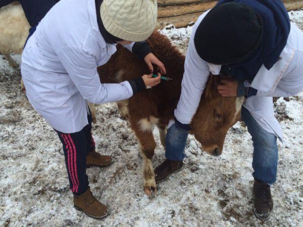 Проведение вакцинации коров