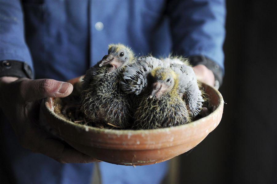 Птенцы домашних голубей