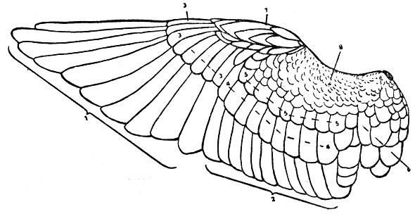 Птичье крыло. 1 – маховые перья первого порядка