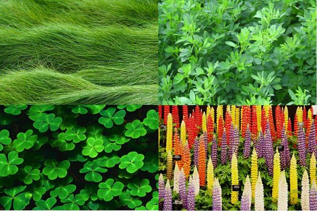 Популярные зеленые корма: газонная трава, клевер, люцерна, сладкий люпин