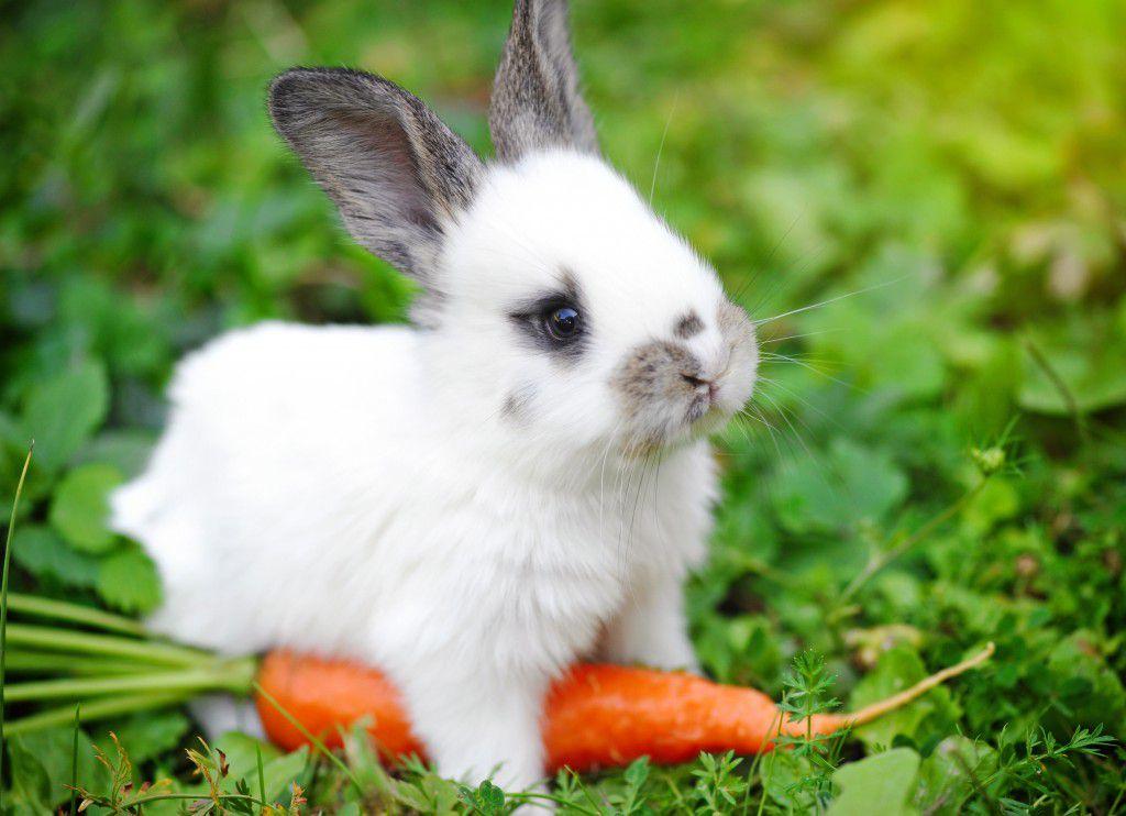 Морковь – самый любимый корнеплод у кролей